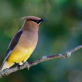 Cedar waxwing perched by Dwight Eddington