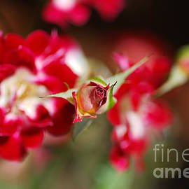 Center Rose Bud Red by Joy Watson