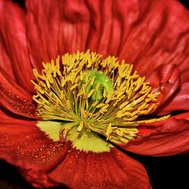 Centerpiece - Red Poppy 044 by George Bostian