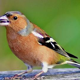 Chaffinch With Seed by Neil R Finlay