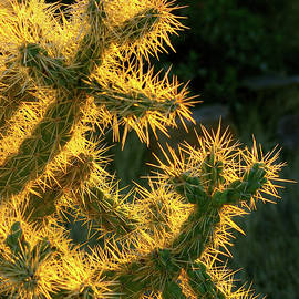 Chainfruit Cholla At Sunset by Douglas Taylor