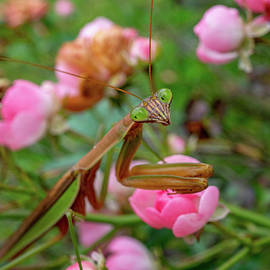 Charming Mantis by Linda Howes