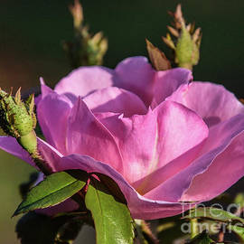 Charming Peachy Knock Out Rose by Cindy Treger