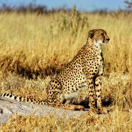 Cheetah On Watch by Kay Brewer