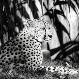 Cheetah Pose by Kathi Isserman
