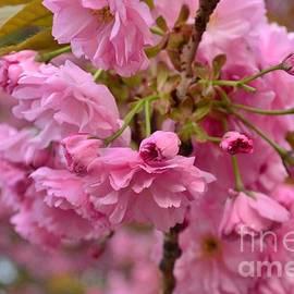 Cherry Blossom Color Burst by Miriam Danar