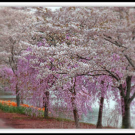 Cherry Blossom Delight by Allen Beatty