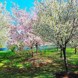 Cherry Blossoms  by Elaine Sieredzinski