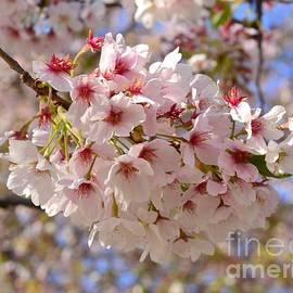 Cherry Blossom Pink by Miriam Danar
