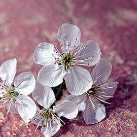 Cherry blossoms by Doru Sava