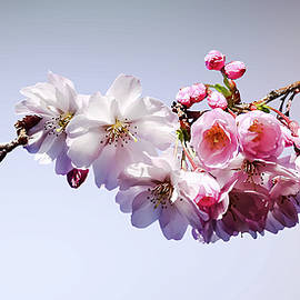 Cherry Blossoms on a Branch by Susan Savad