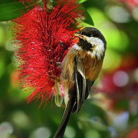 Chestnut-backed Chickadee on Bottle Brush Blossom by Brian Tada