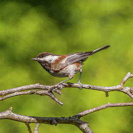 Chestnut-Backed Chickadee With Green Background by Marv Vandehey