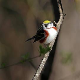 Chestnut Sided Warbler In The Spotlight by Debbie Oppermann