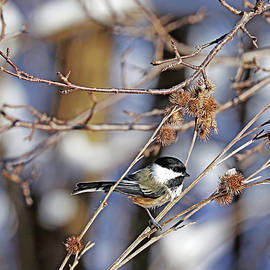 Chickadee And Burrs by Debbie Oppermann
