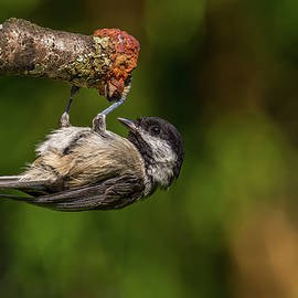 Chickadee Hanging Upside Down by Marv Vandehey