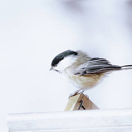 Chickadee In March Wind by Sue Capuano