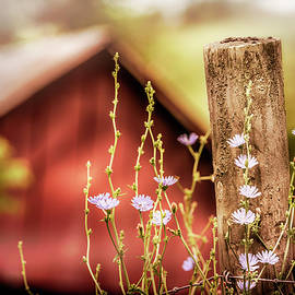 Chicory Dicory Dock by Jim Love