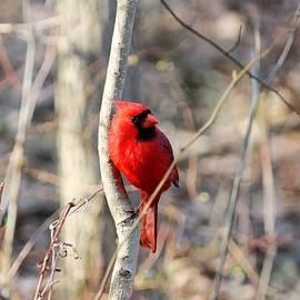 Chipper Cardinal Pose by Nancy Spirakus