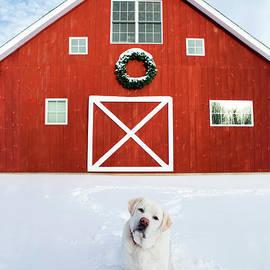 Christmas Barn With White Labrador Retriever by Diane Diederich