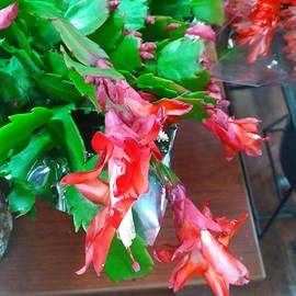 Christmas Cactus Flower by Charlotte Gray
