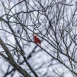 Christmas Cardinal by Richard Thomas