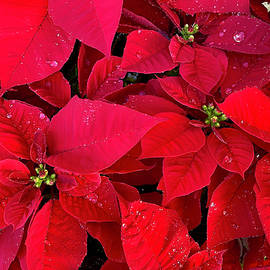 Christmas Poinsettia  by Joseph Schofield