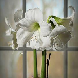 Christmas White Amaryllis by Mary Lynn Giacomini