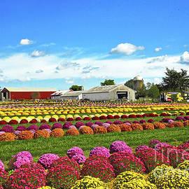 Chrysanthemum Field Autumn Glory by Regina Geoghan