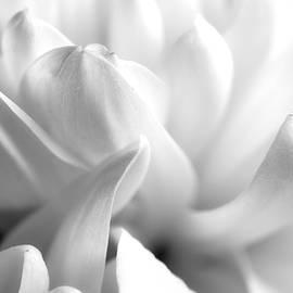 Chrysanthemum Petals by Tom Mc Nemar