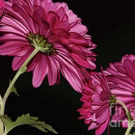 Chrysanthemums 2 by Eddie Barron