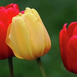 Classic Spring Garden Tulips by Debbie Oppermann