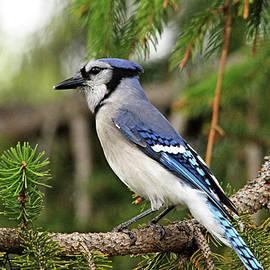 Classy Blue Jay by Debbie Oppermann
