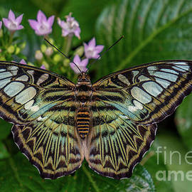Clipper Butterfly  by Linda Howes