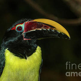 Close up Green Aracari by Linda Howes