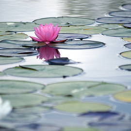 Pink nymphaeaceae, nymphae blooming water lily, lotus flower, with reflecting on the lake at garden by Akos Horvath Decor