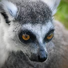 Closeup of a Ring Tailed Lemur by Richard Bryce and Family