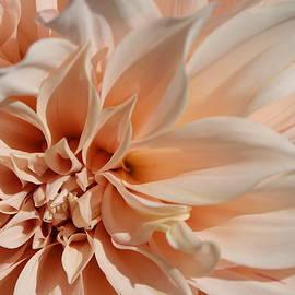 Closeup Of Beautiful Pastel Dahlia Flower  by Lyuba Filatova
