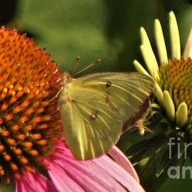 Clouded Sulphur Butterfly Amid Coneflowers           July           Indiana by Rory Cubel