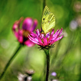 Clouded Sulphur Butterfly Pollinating Echinacea Tennesseensis by Laura Vilandre