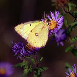Clouded Yellow Butterfly Purple Asters by Marlin and Laura Hum