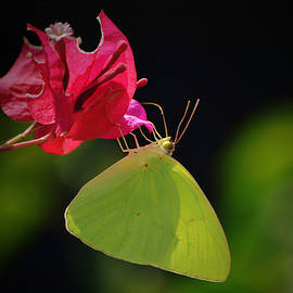 Cloudless Sulphur Butterfly on Turks Cap by Gaby Ethington