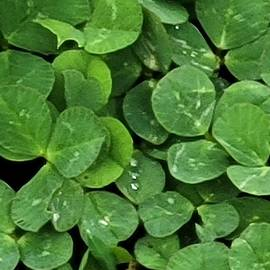 Clovers, Where are you four leaf clover?? by Charlotte Gray
