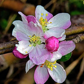 Cluster of apple blossoms by Tibor Tivadar Kui