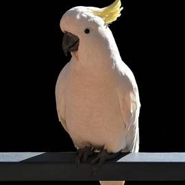 Cockatoo at Sundial Apartments by Yolanda Caporn