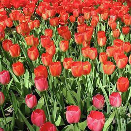 Color Me Scarlet - Keukenhof Tulips by Kathryn Jones