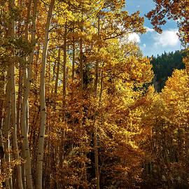 Colorado Autumn Aspens by Gary McJimsey