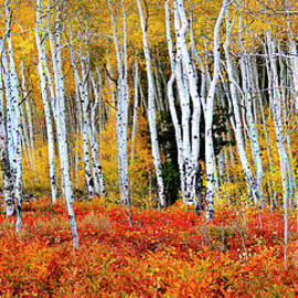 Colorado Autumn Aspens by Norma Brandsberg