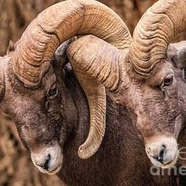 Colorado Bighorn Sheep