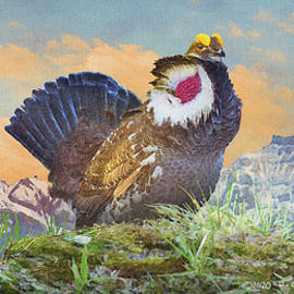 Colorado Mountain Dusky Grouse Display by R christopher Vest